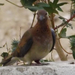 Laughing Dove 4